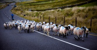 sheep herd in Slea Head Road. Dingle Peninsula. County Kerry,  Ireland.