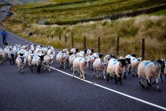 sheep herd in Slea Head Road. Dingle Peninsula. County Kerry,  Ireland.